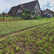 România va avea prima floare protejată la nivel european. Înflorește o dată la trei ani